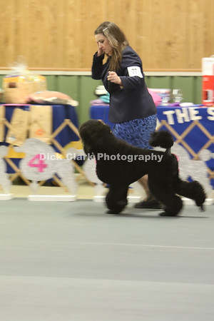 Saturday Standard Poodle Confiration Ring Photos