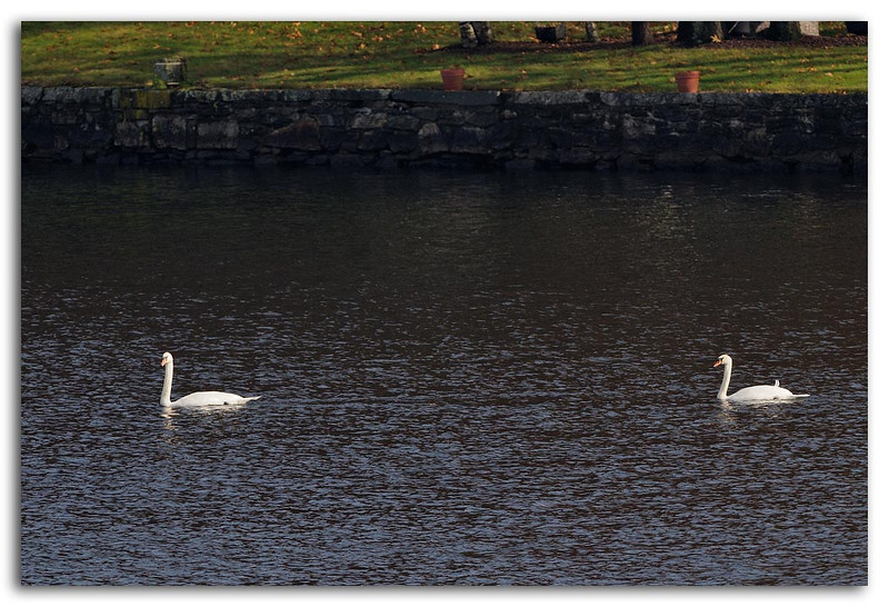Thanksgiving Swans.jpg