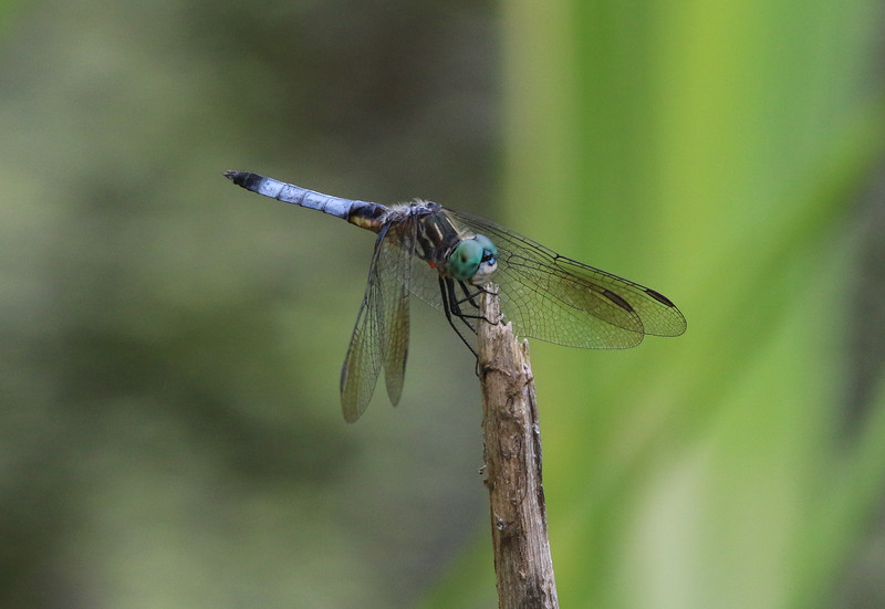 dragon fly 2.jpg