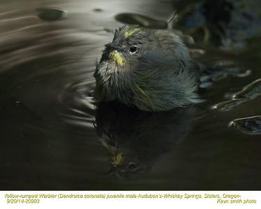 Yellow-rumped Warbler Audubon's M20903.jpg