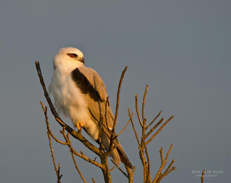 Black-shouldered Kite, Lake Illawarra, NSW, Aus, Feb 2012.jpg