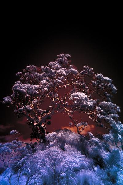 Ngunguru Tree