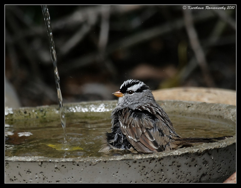 White-crowned sparrow bathing, The Drip, Cabrillo National Monument, San Diego County, California, April 2010