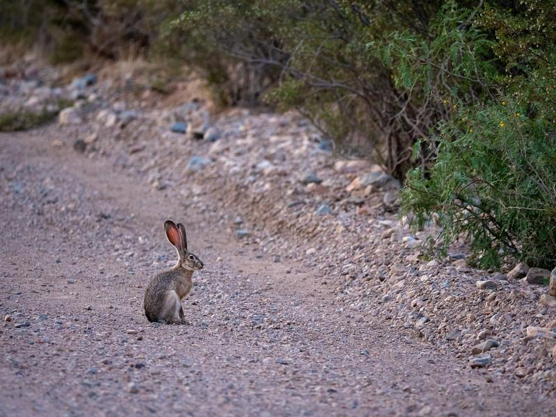Black-tailed Jackrabbit Foothills Road Chihuahuan Desert Chiricahua Mountains near Portal southeast Arizona June 6-12 2019P1066019.jpg