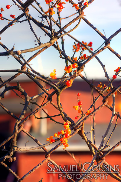 Vines growing on a chain-link fence.
