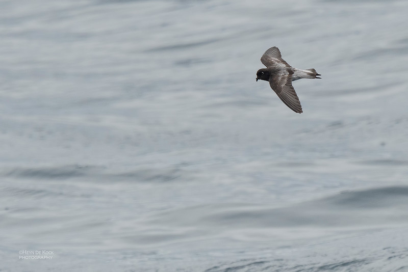 Grey-backed Storm-Petrel, Eaglehawk Neck Pelagic, TAS, Dec 2019-3.jpg
