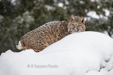 Bobcat Photography