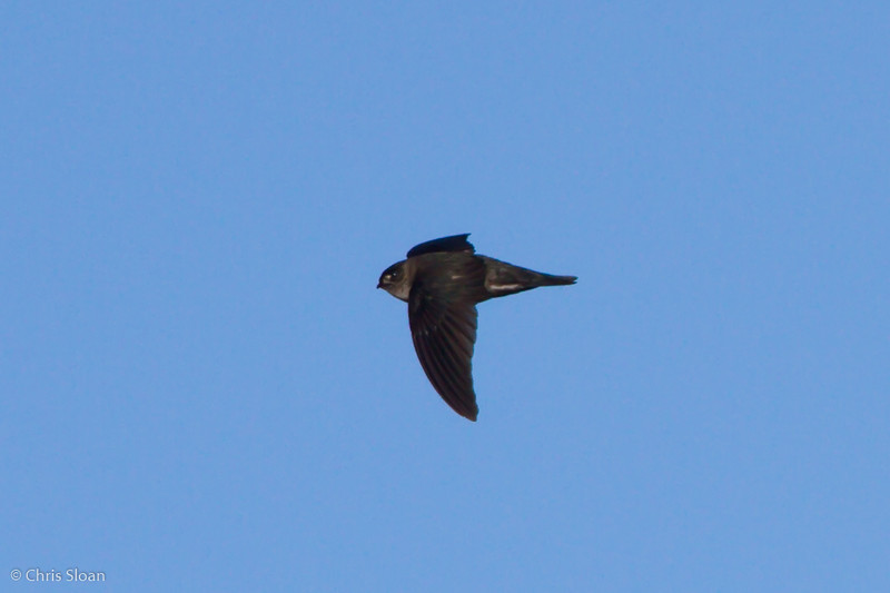Mountain Swiftlet at Ambua Lodge, Papua New Guinea (10-06-2013) 1694.jpg