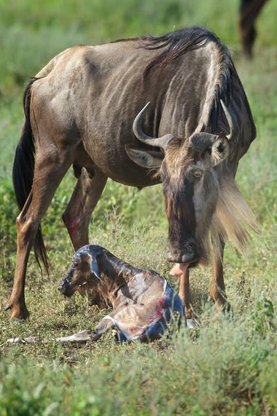 Serengeti_Feb_2013_FH0T4332.tiff.jpg