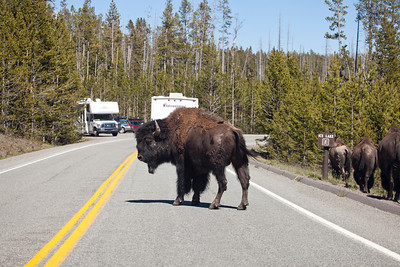 """Yellowstone """"Bison Jam"""""""