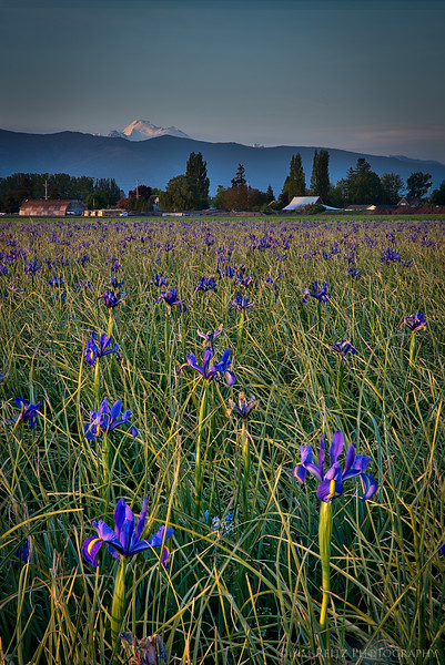 Iris fields - Skagit County, Washington
