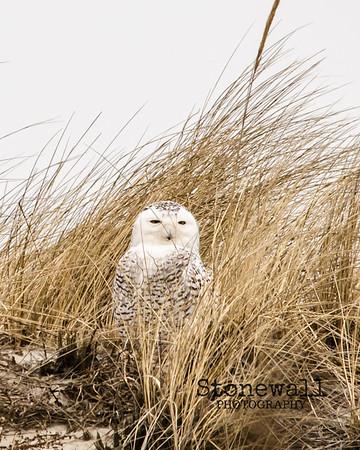 Snow Owl 2016