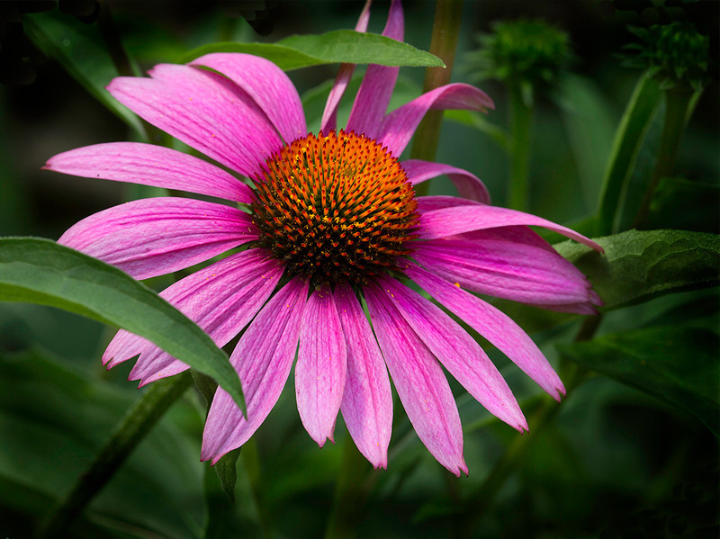 Cone flower in the garden at the Manor House