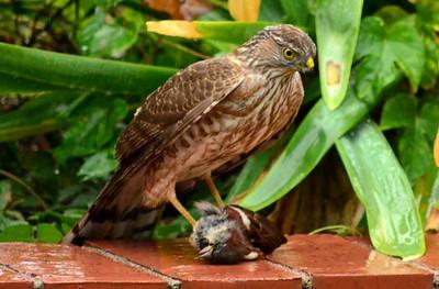 Hawk in Backyard 12.13.12