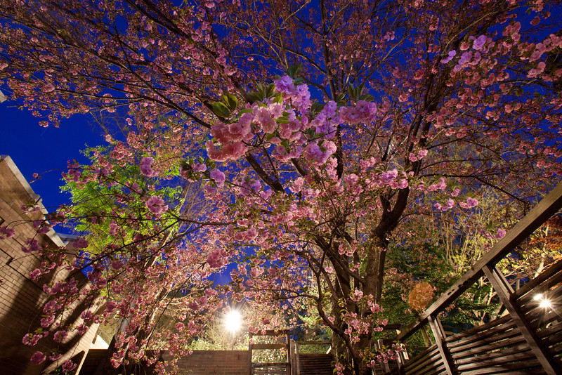 Cherry blossoms at twilight