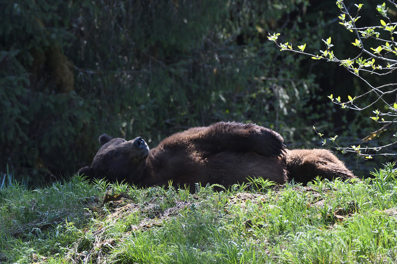 Dozing bear