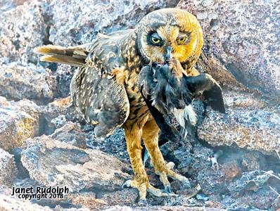 Short eared owl 4s.jpg