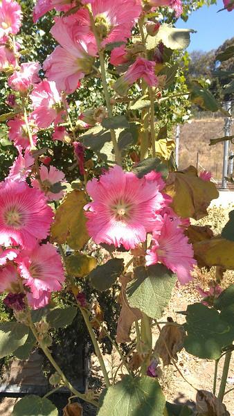 Pink Flower(CU)