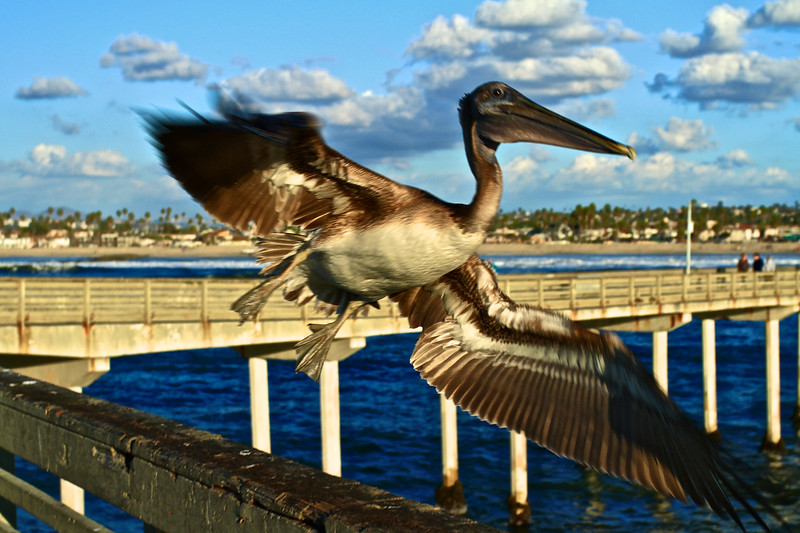 Brown Pelican Takeoff
