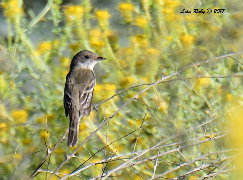 Willow Flycatcher - 9/17/2017 - Borrego Springs Water Treatment Settling Ponds