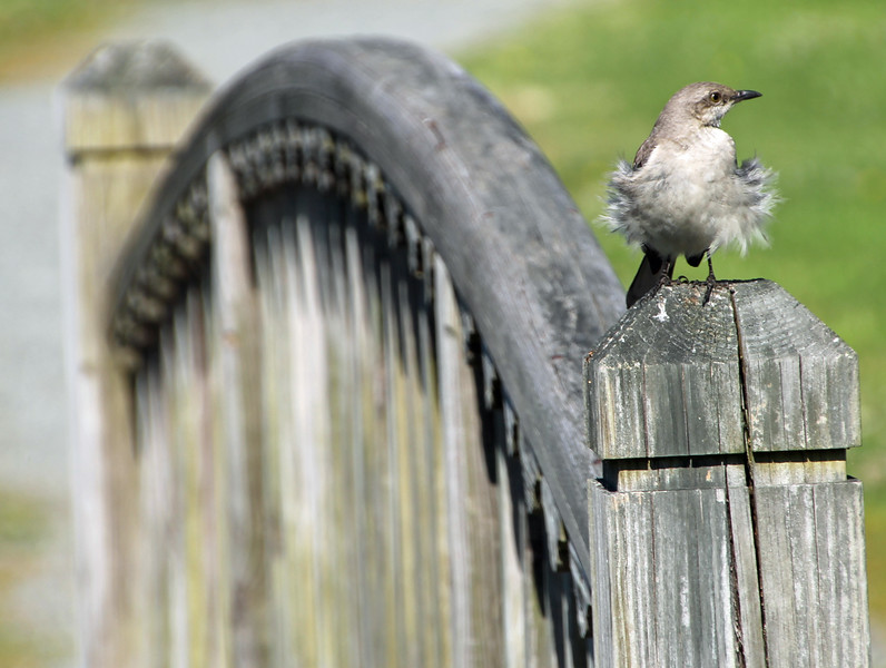 Mockingbird on bridge