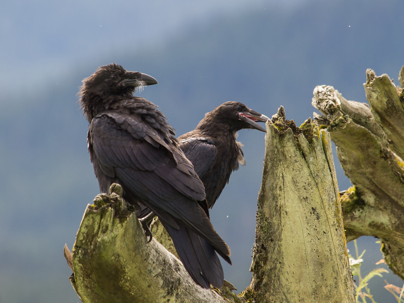 A Raven explores an old, washed up tree.