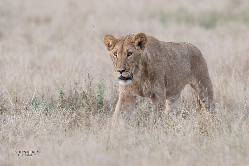 African Lion, Savuti, Chobe NP, Botswana, May 2017-25.jpg