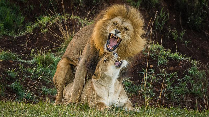 Lions-0129-2.jpg