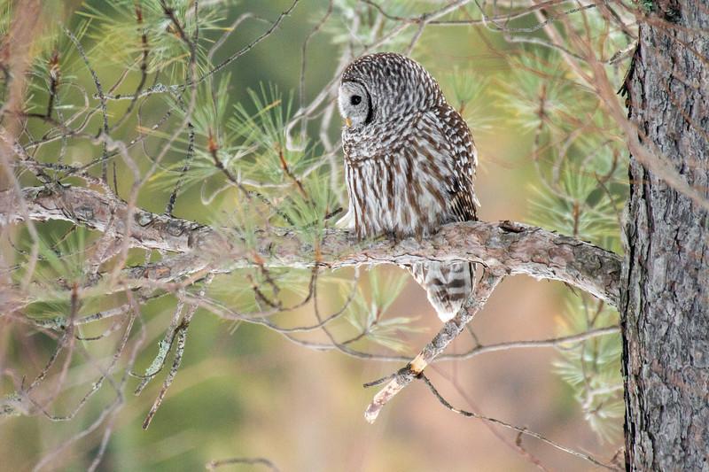 Barred Owl hunting Yellow-bellied Bog Peary Road Sax-Zim Bog MN IMG_0237.jpg