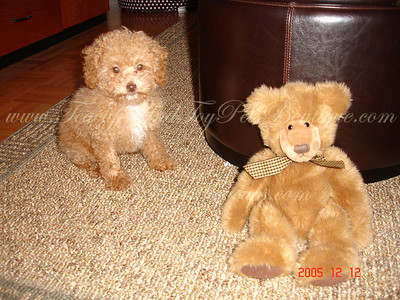 MaltePoo Sold to: Patricia B.