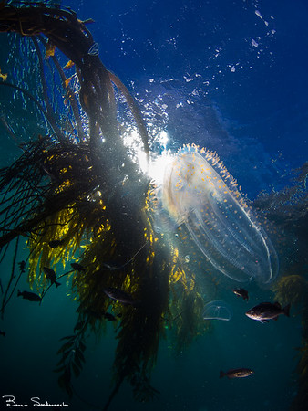 Beroe cucumis (comb jellyfish)