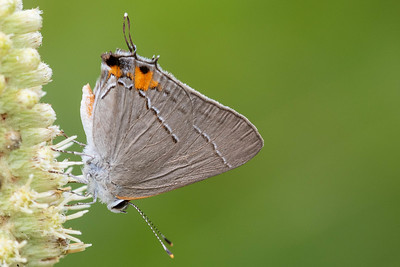 Hairstreak (Theclinae)
