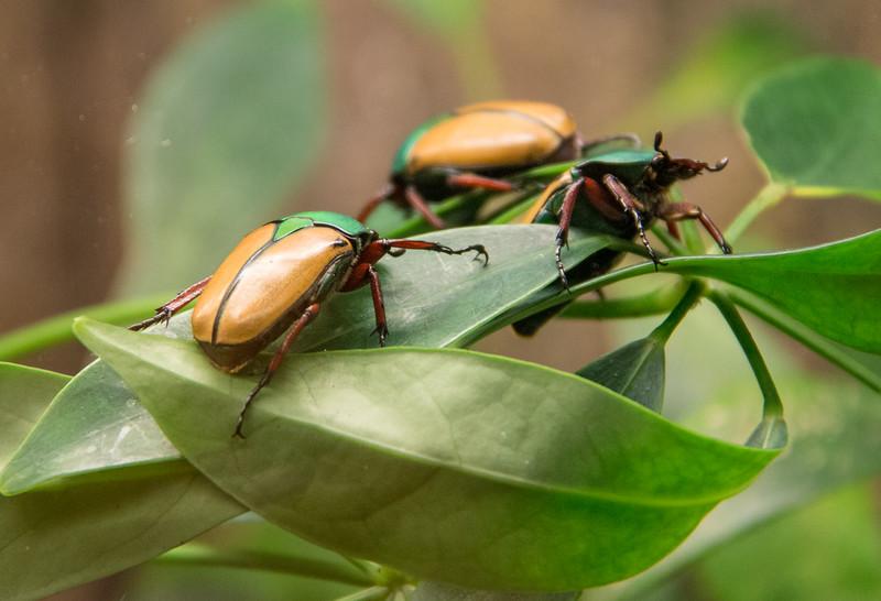 Scarab Beetle - Insectarium