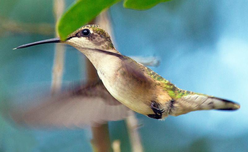 Ruby-throated humming bird, 12