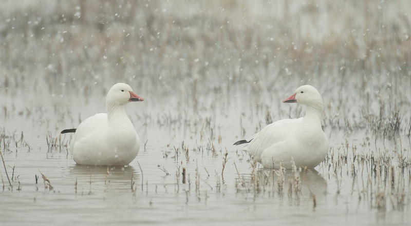 Snow Geese In Snow 0406125