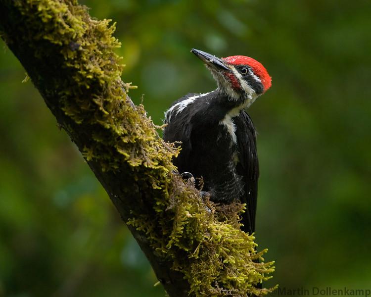 Pileated Woodpecker male