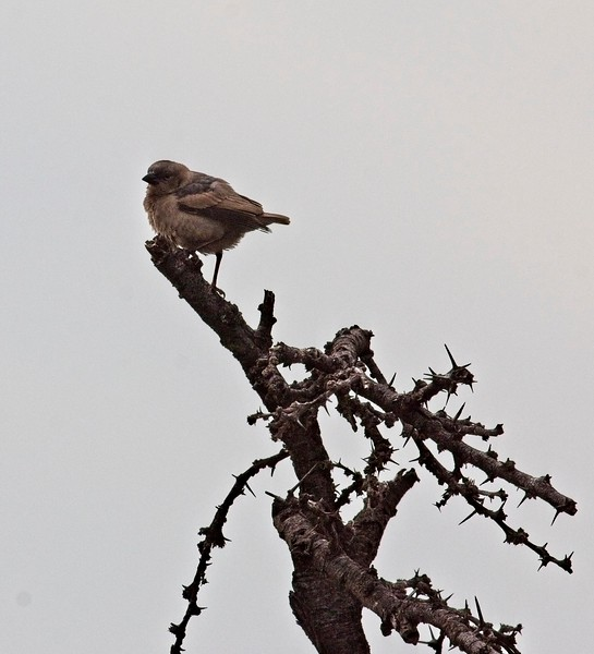 Wheatear, Naboisho Conservancy
