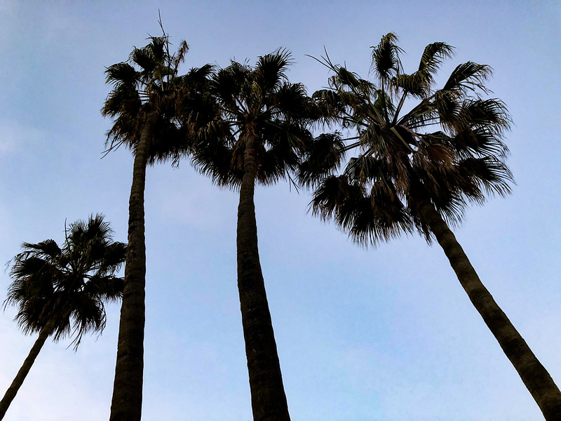 Morning palm trees, Manhattan Beach