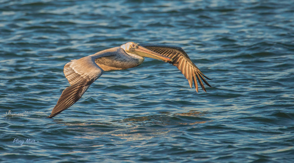 Brown Pelican IF_DWL5288.jpg