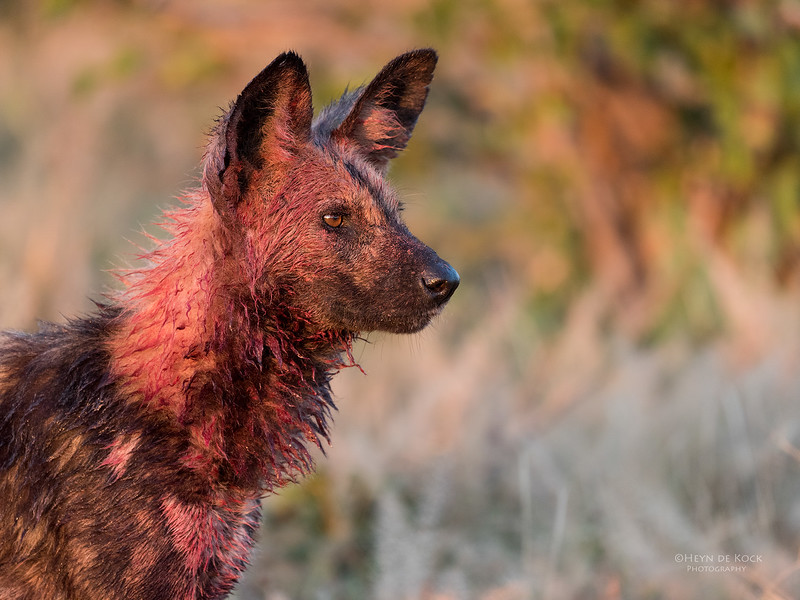 African Wild Dog, Savuti, Chobe NP, Botwana, May 2017-14.jpg