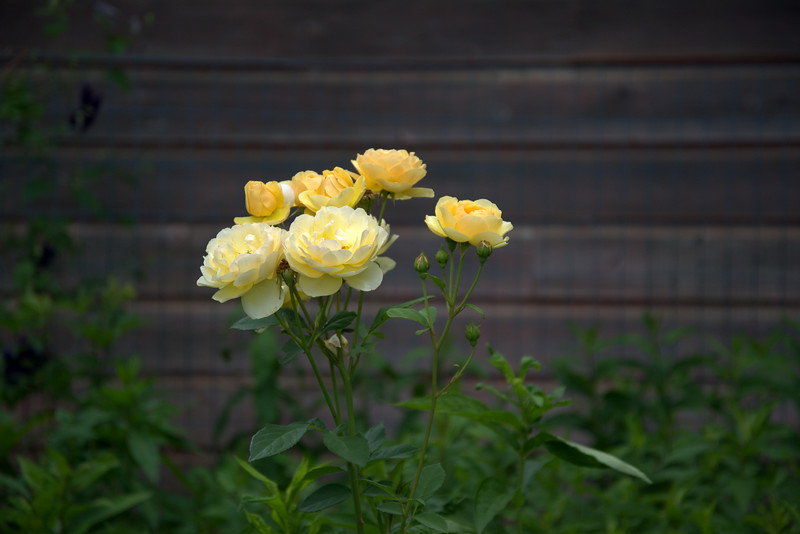 Yellow Roses Well Sweep.jpg