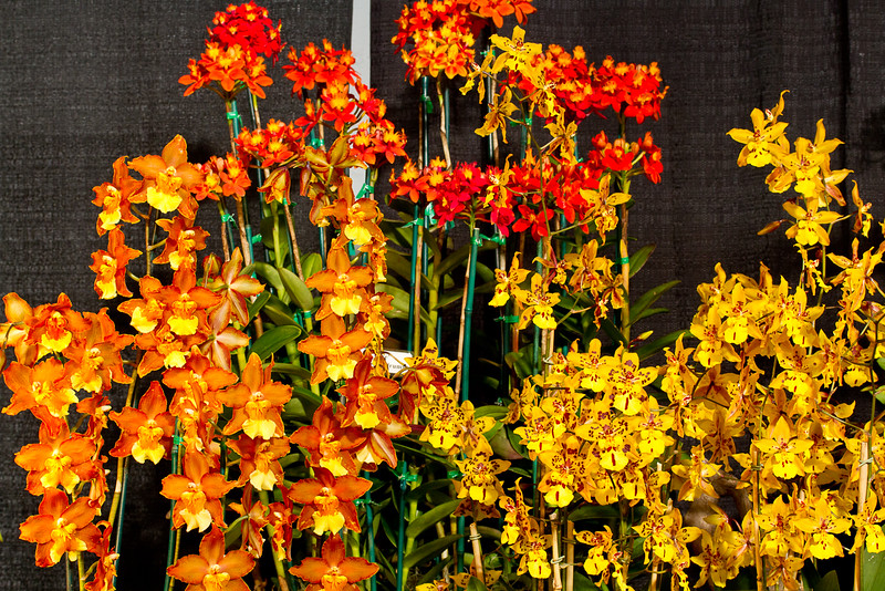 SF_Orchid_Show-40.jpg