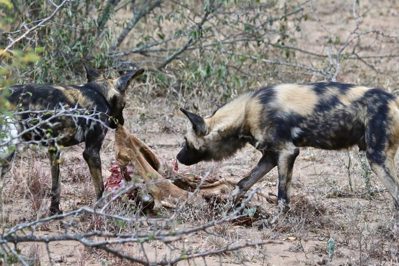 Wild Dogs Eating Kudu