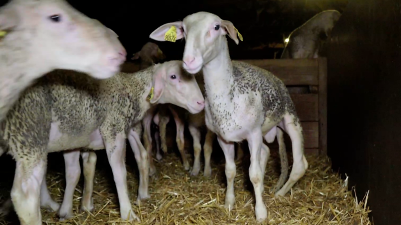 agneau-boiterie-1.png