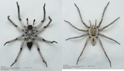 Undescribed species 1 (Lycosinae)