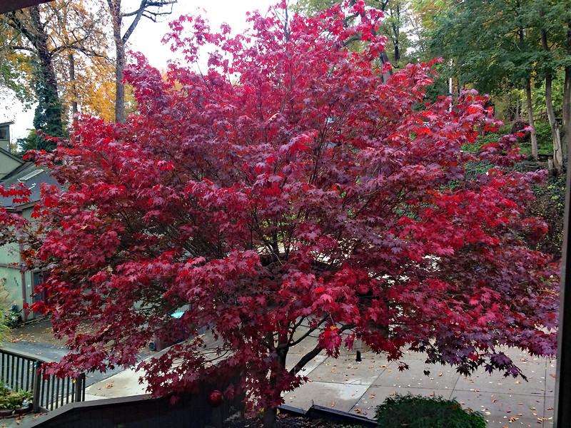 maple_tree2.jpg