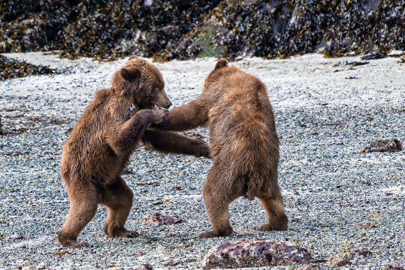 Grizzly bear cubs playing at low tide in Knight Inlet, First Nations Territory, British Columbia, Canada.