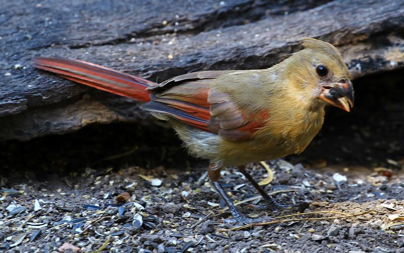 Young Cardinal 702.jpg