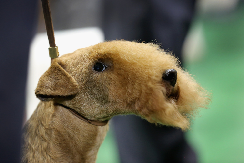 . A terrier prepares to compete at the 137th Westminster Kennel Club Dog Show on February 12, 2013 in New York City. Best of breed dogs competed for Best in Show at Madison Square Garden Tuesday night. A total of 2,721 dogs from 187 breeds and varieties competed in the event, hailed by organizers as the second oldest sporting competition in America, after the Kentucky Derby.  (Photo by John Moore/Getty Images)