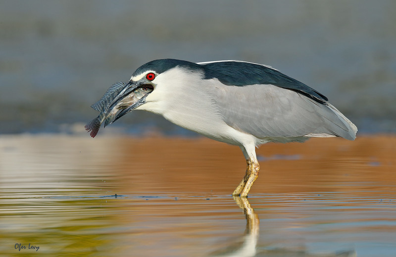 Night Heron with fish 1 MASTER.jpg